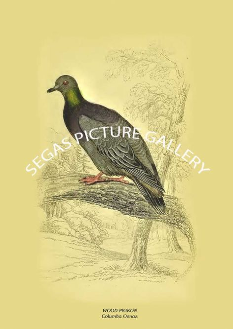 Fine art print of the WOOD PIGEON - Columba Oenas by the artist Prideaux John Selby (1845-46)